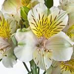 Yellow Sunbath alstroemeria Wholesale Bloom Close Up