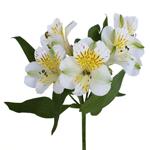 Yellow Sunbath alstroemeria Wholesale Flower Stem
