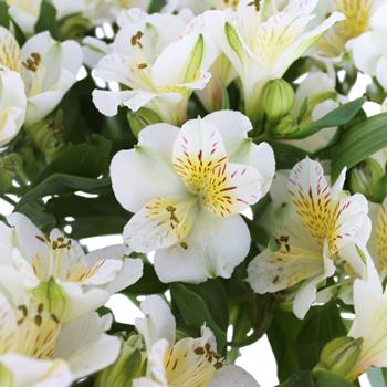 Yellow Sunbath alstroemeria Wholesale Flower Upclose