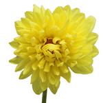 Wholesale Dahlias Yellow
