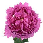 David Austin Pink Garden Rose Yves Piaget