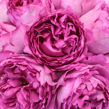 Yves Piaget Peony Roses up close