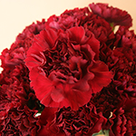Zurigo Burgundy Wholesale Carnations Up close