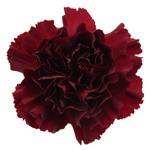 Burgundy Carnation Flower